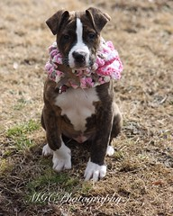 (Maddie Cowell) Tags: dog puppy photography photographer pitbull dogphotography pitbullpuppy brindlepitbull dogphotographer pitbullphotography pitbullphotographer mgcphotography