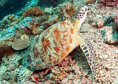 Green turtle (Chelonia mydas) (gillybooze) Tags: sea coral underwater turtle scuba malaysia diver reef sipadan allrightsreserved madaleunderwaterimages