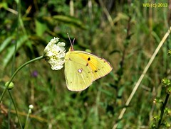 DSC_0047 vgott wb (bwagnerfoto) Tags: macro nature yellow fauna butterfly insect pale llat goldene clouded colias acht rovar hyale pillang gemeiner lepke gelbling tagfalter fak weisling heufalter pacsmag kneslepke regly posthrnchen weiskleegelbling