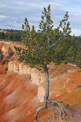 Clinging for life (Todd Boland) Tags: pine utah brycecanyon pinus