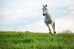 Coming At Me (jeff_a_goldberg) Tags: horse us illinois spring unitedstates equestrian lipizzan oldmillcreek lipizzans tempelfarms lipizzanstallion thetempellippzans