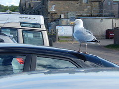 Herring-gull in East Sands car-park, 2016 May 20 (Dunnock_D) Tags: uk seagulls bird beach car birds standing scotland flying sand unitedkingdom fife britain seagull gull gulls parked standrews carpark herringgulls herringgull eastsands
