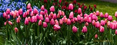 Tulips.............. (Rambonp love's all creatures of Universe.) Tags: pink flowers blue trees red wallpaper holland green water yellow clouds canon landscape europe paradise tulips country keukenhof keukenhofgarden