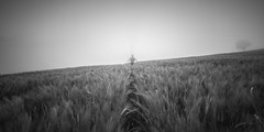 cornfield (ArztG.|Photo) Tags: morning misty fog thanks for cornfield moody looking 21 cheers today arztg|photo