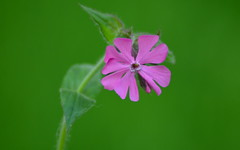 (**StereoDee**93) Tags: pink nikon wildflower campion d7000