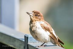 Butcherbird 710_7830.jpg (Mobile Lynn) Tags: wild nature birds au australia queensland butcherbird riverheads