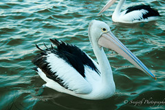 IMG_1075 (gsreejith) Tags: pelicans water birds pelican theentrance