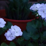 white pelargoniums at sunset thumbnail