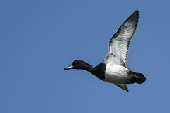 Duck's off (Tim Melling) Tags: tufted duck drake flight aythya fuligula west yorkshire timmelling