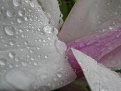 IMG_1366 (Andy panomaniacanonymous) Tags: ddd fff flower magnolia mmm raindrops rrr thorpperrowarboretum yorkshire