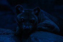 MORE FOSSA (iamdeertail) Tags: zoo cincinatti lion lioness tiger tigeress monkey monkeys tree nap napping naps laying tail african cat big carnivore herbivore omnivore mammal reptile amphibian bird fish pounce fossa train leaf leaves squirrel post july
