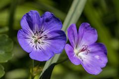 Purble beauty (bohnengarten) Tags: flower eos schweiz switzerland swiss bloom blume blte violett purble thurgau 80d