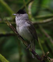 Blackcap (heather.rigg) Tags: nature outdoor smallbirds blackcap northcavewetands