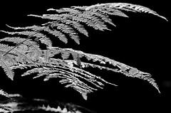 Farn (ustrassmann) Tags: bw blackwhite farn schwarzweis wurmfarn
