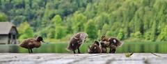 Entlein (CA_Rotwang) Tags: lake animals germany bayern deutschland bavaria see berchtesgaden tiere wasser natur ducks enten steg knigssee schnau entlein