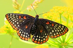 Baltimore checkerspot in Allamakee Co. IA 854A9699 (lreis_naturalist) Tags: county butterfly reis iowa baltimore larry checkerspot allamakee