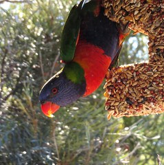 Are you watching me! (Anni - with camera back - will try to catch up) Tags: trees gardens forest woodlands rainforest seeds rainbowlorikeet talltrees screeching shoppingcentres chattering twittering noisyflocks