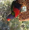 Are you watching me! (Anni - with camera - off and on) Tags: trees gardens forest woodlands rainforest seeds rainbowlorikeet talltrees screeching shoppingcentres chattering twittering noisyflocks