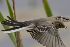 Young White wagtail flying - Motacilla alba - Finnish: Vstrkki (timohannukkala) Tags: bird nature finland fly flying nikon young whitewagtail motacillaalba vstrkki