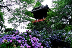 Temple of Hydrangea (tez-guitar) Tags: leica summer flower temple blossoms architect bloom hydrangea leicax1