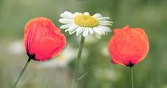 poppies (augustynbatko) Tags: flower macro nature meadow poppy daisy