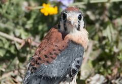 Update on American Kestrel Fledgling Rescue (NicoleW0000) Tags: rescue ontario canada american falcon fledgling kestrel preybird