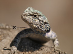 Attentive (jan-krux photography - thx for 1.5 Mio+ views) Tags: animals fauna river southafrica tiere reptile olympus lizard e3 fluss krugernationalpark mpumalanga echse reptil skukuza sabie knp suedafrika agame southernrockagama agamaatra
