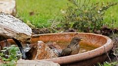 IMG_4062 Bathing time (Rodolfo Frino) Tags: animal zorzal ave pajaro argentinianbird pajaroargentino beautifulbird mediumsizebird friendlybird pararoamigable rodolfo frino