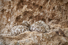 Pseudocerastes urarachnoides (Tinag) Tags: pseudocerastes urarachnoides queue arachnide iran reptile