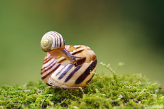 Anybody Home? (Vie Lipowski) Tags: macro nature moss wildlife shell snail snailshell miniatureworld bryophyte babysnail emptyhouse emptyshell detritivore