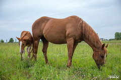 Ted & Marshall (codecarnage) Tags: ohio horses photography us unitedstates ponies equestrian bowlinggreen june2016