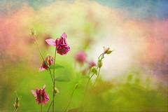 Bitter sweet (Ans van de Sluis) Tags: flower art texture nature floral spring flora colours bokeh pastel fineart colourful bittersweet bokehlicious ansvandesluis