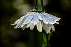 Flower Shower (TheCozyEscape) Tags: flower petals petal water droplet waterdroplet waterdrop shower wet rain nature earth living plant macro closeup detail texture green white summer spring pretty beautiful