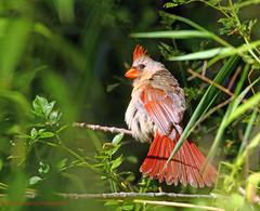 Female Cardinal (rumerbob) Tags: cardinal bird birdwatching birdwatcher femalecardinal nature naturephotography wildlife peacevalleypark lakegalena canon7dmarkii canon100400mmlens