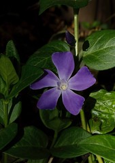 Happy Easter! (suenosdeuomi) Tags: newmexico santafe easter bloom periwinkle groundcover panasoniclumixdmcfz35