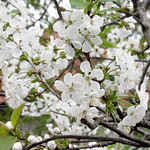 Kirschblüte thumbnail