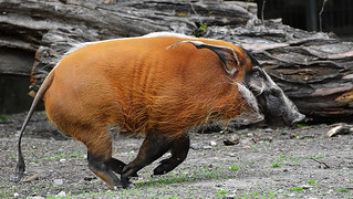 Schweinsgalopp  -  Hogfather