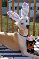 Happy Easter (DiamondBonz) Tags: dog pet cute easter spring hound adorable ears whippet spanky