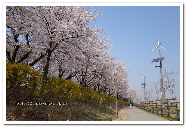 여의도벚꽃25