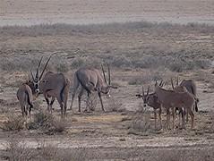 Beisa-Spiessbock - Oryx beisa, NGIDn564516347 (naturgucker.de) Tags: oryxbeisa naturguckerde beisaspiessbock 879702921 1493210511 chorstschlüter ngidn564516347