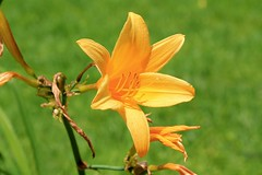 Yellow-Orange Daylily (k.jackson) Tags: flowers plants plant flower nature leaves yellow petals lily maine roots stamens petal lilies stamen daylily wildflowers wildflower daylilies yellowlily anther anthers sepals sepal tepal yellowlilies tepals
