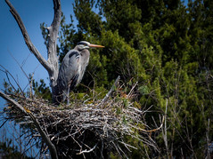 Nesting Great Blue Heron (DC-21X-Zoom Problem Walking but still smiling) Tags: