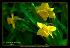 Jonquilles... Jonquils (Supersyl08) Tags: flower fleur spring printemps jonquils jonquilles