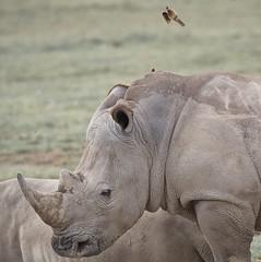 Rhino under attack at Lake Nakuru in Kenia (Ferdi's - World) Tags: africa bird netherlands animal kenya rhino thehague rhinoceros gamedrive zuidholland djoser neushoorn oxpecker lakenakuru rhinocerotidae baringomeer nikkorafs70200f28 oneofthebigfive ferdisworld buphaginae buphagidae nikond7000 ossenpikker keniaentanzaniareis2011 nakurunationaalpark 2011keniatanzaniavacation