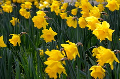 Easter colour (Tony Worrall Foto) Tags: county uk flowers england flower color colour nature yellow easter season spring nice stream colours tour open place natural northwest bright country north visit location lancashire daffodil area preston colourful sunlit northern update yellowflowers attraction daffs lancs ashtonpark ashtononribble welovethenorth 2015tonyworrall