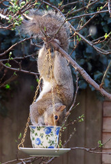 Just my cup of tea (Rodents rule) Tags: london rodent squirrel birdfeeder greysquirrel blip westnorwood