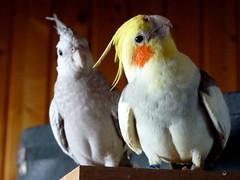 I Wanna Dance Wit' Choo (cangaroojack) Tags: gel vögel bird birds cockatiel cockatiels parrot parrots zimt clowns schecke weiskopf disco tex funny byrds