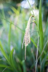 Grass Seeds (--Kei--) Tags: nikon bokeh 28mm f2 nikkor ais d810 nikon28mmf2ais