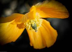 Poppy (judy dean) Tags: orange poppy 2015 naturethroughthelens judydean sonya6000