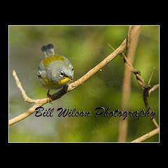 Northern Parula (Warbler) (wildlifephotonj) Tags: wildlife parula photographywildlife photosnature wildlifephotographynj naturephotographynj photographywildlifenaturenature printsbirdsbirdsong birdswarblerwarblersnorthern